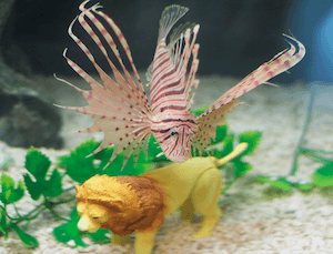 Are Lionfish Aggressive?