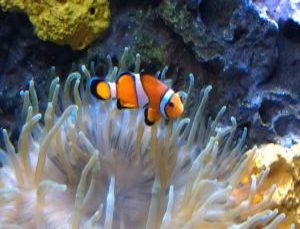 Clownfish Sleeping