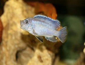 Begineer Cichlid