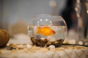 What Should I Feed my Goldfish?