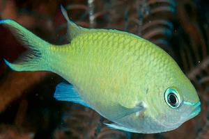 Blue Green Chromis Guide
