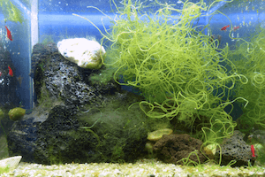 How to get rid of Hair Algae in Aquarium
